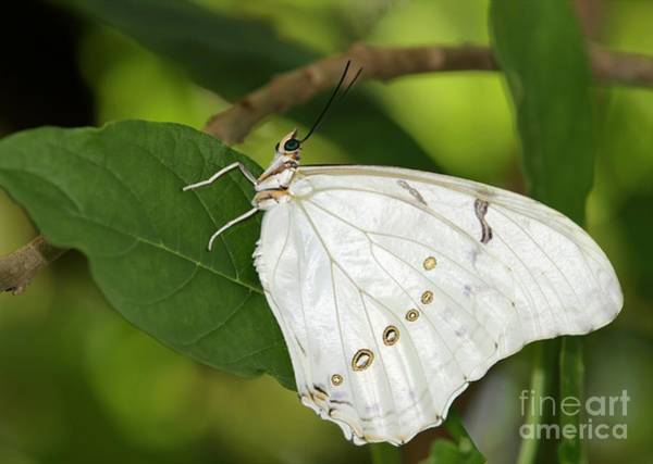 Photograph - White Morpho Butterfly by Sabrina L Ryan