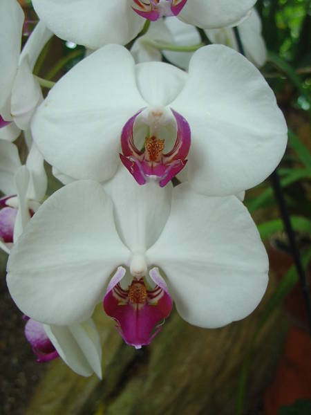 Photograph - White Orchid by Charles and Melisa Morrison