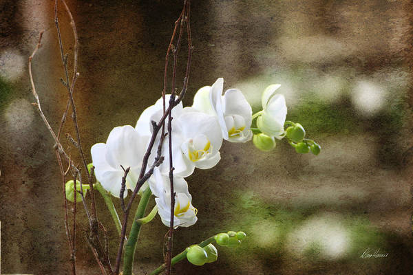 Photograph - White Orchid by Diana Haronis