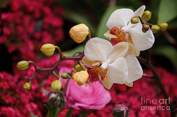 Photograph - White Orchids In The Flora Garden by Andee Design