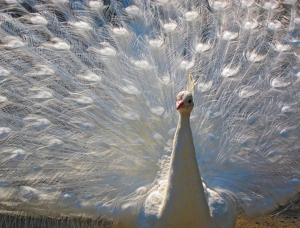 White Peacock Painting - White Peacock by Pat Exum