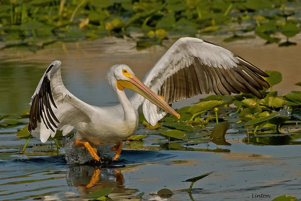 Photograph - White Pelican by Larry Linton