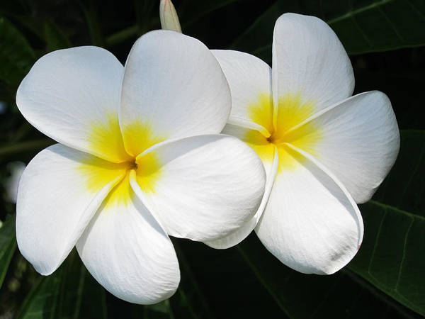 Photograph - White Plumerias by Shane Kelly
