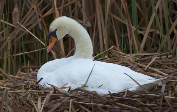 Photograph - White Swan by Ralph Jones