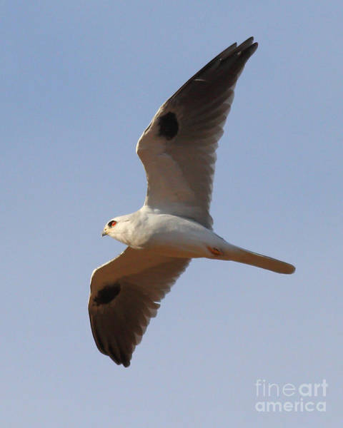 Photograph - White-tailed Kite Hawk In Flight . 7d10984 by Wingsdomain Art and Photography