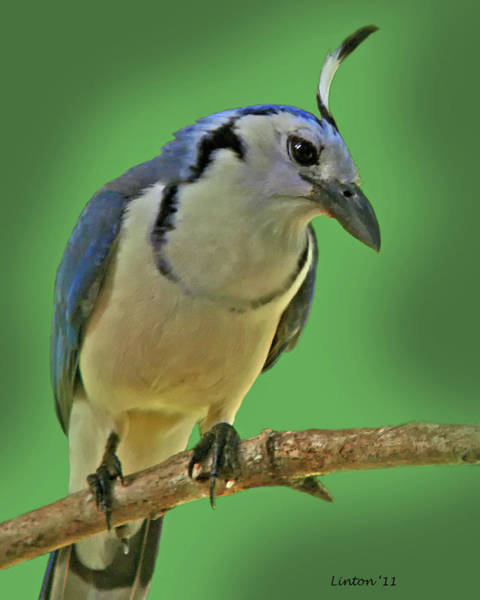 Photograph - White-throated Magpie Jay by Larry Linton