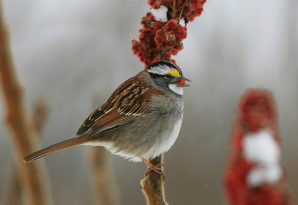 White-throated Sparrow Photograph - White-throated Sparrow by Bruce J Robinson