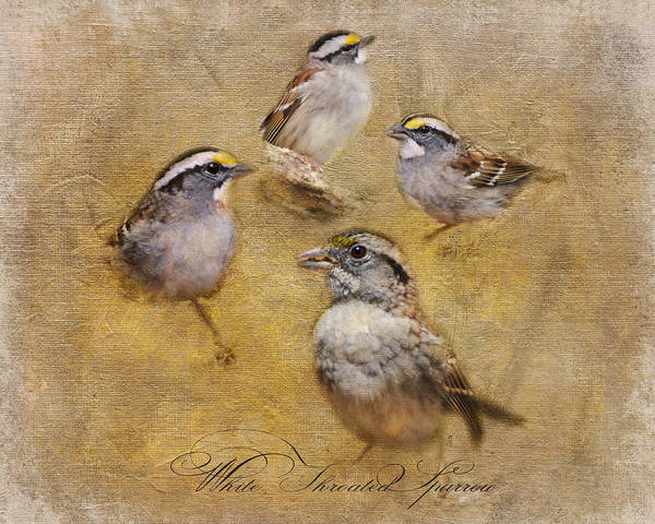 White-throated Sparrow Photograph - White Throated Sparrow Montage by Jai Johnson