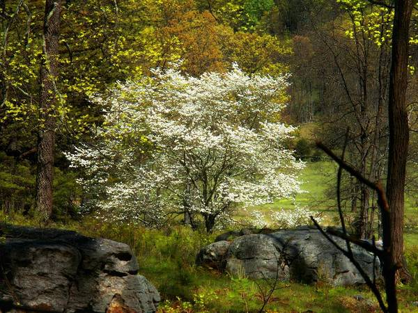 Allegheny Mountains Wall Art - Photograph - White Tree On The Mountain by Joyce Kimble Smith
