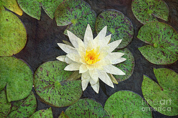 Photograph - White Water Lily by Andee Design