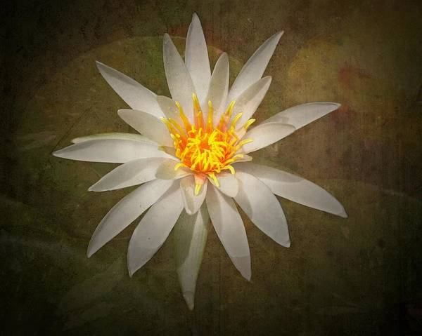 Lotus Seed Wall Art - Photograph - White Water Lily by Rudy Umans