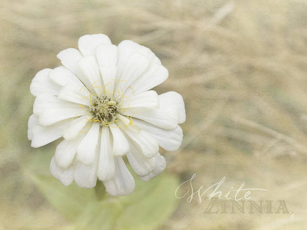 Photograph - White Zinnia by Cindy Garber Iverson