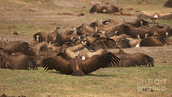 Photograph - Whitebacked Vultures by Mareko Marciniak
