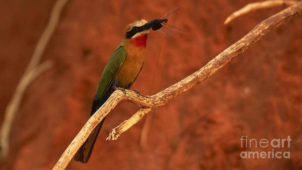 Photograph - Whitefronted Bee-eater by Mareko Marciniak