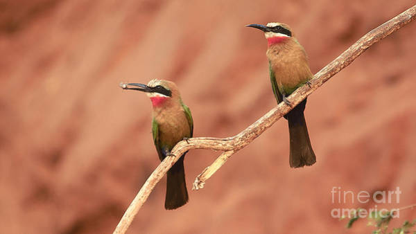 Photograph - Whitefronted Bee-eaters by Mareko Marciniak