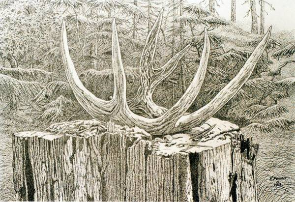 Whitetail Drawing - Whiteltail Antler On Atump by Kenneth or Susan Posselt