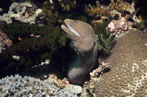 Wall Art - Photograph - Whitemouth Moray Eel by Georgette Douwma