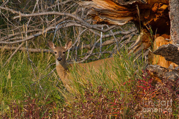 Photograph - Whitetail Doe by Katie LaSalle-Lowery