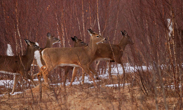 Whitetail Wall Art - Photograph - Whitetails On The Move by Susan Capuano