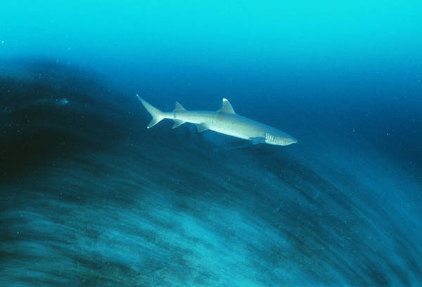 Triaenodon Obesus Photograph - Whitetip Reef Shark by Matthew Oldfield