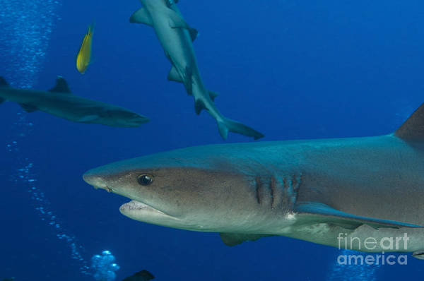 Triaenodon Obesus Photograph - Whitetip Reef Shark, Papua New Guinea by Steve Jones
