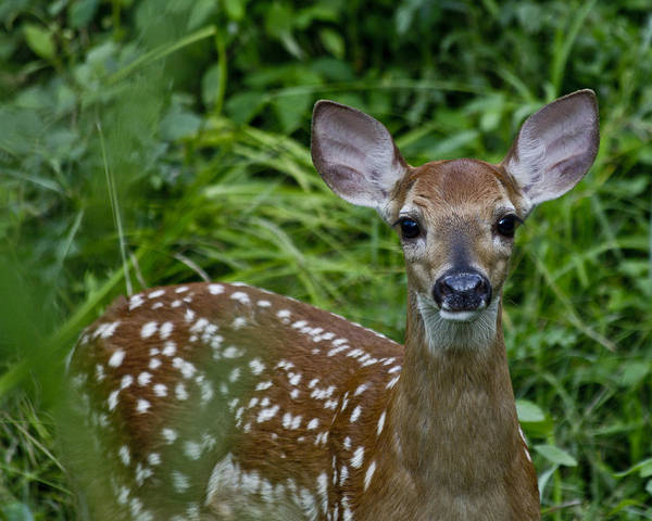 White Tailed Deer Photograph - Who Are You by Betsy Knapp