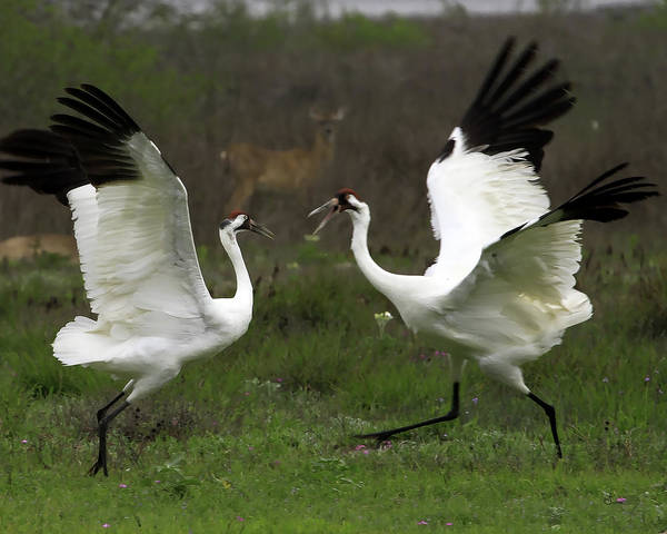 Whooping Cranes Photograph - Whooper Dispute One by Sally Mitchell