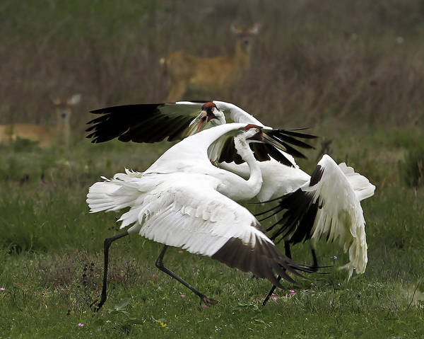 Whooping Cranes Photograph - Whooper Dispute Two by Sally Mitchell