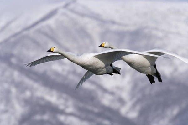 Photograph - Whooper Swan Cygnus Cygnus Pair Flying by Konrad Wothe