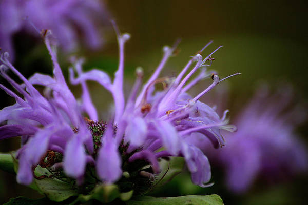 Photograph - Wild Bergamot 2 by Scott Hovind