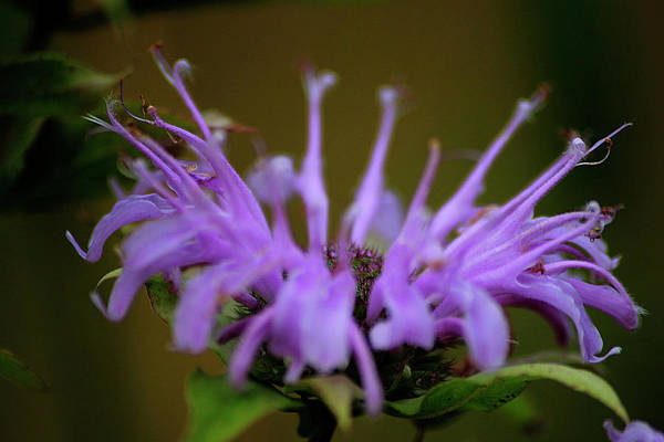 Photograph - Wild Bergamot by Scott Hovind