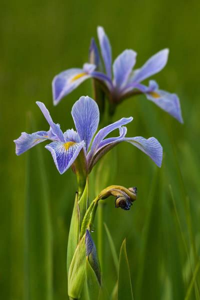 Wall Art - Photograph - Wild Blue Flag Iris by Dale Kincaid