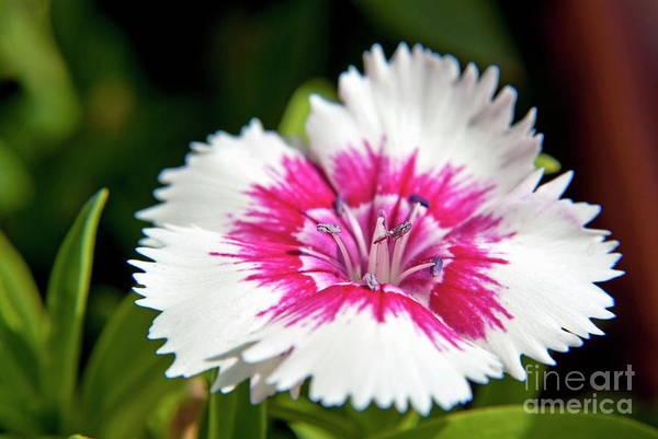 Wall Art - Photograph - Wild Carnation Flower by Sami Sarkis