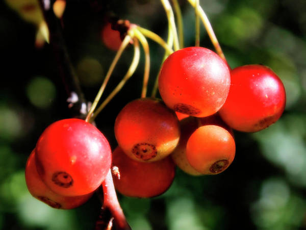 Photograph - Wild Cherry by Scott Hovind