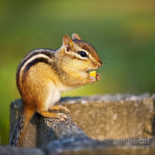 Photograph - Wild Chipmunk  by Elena Elisseeva
