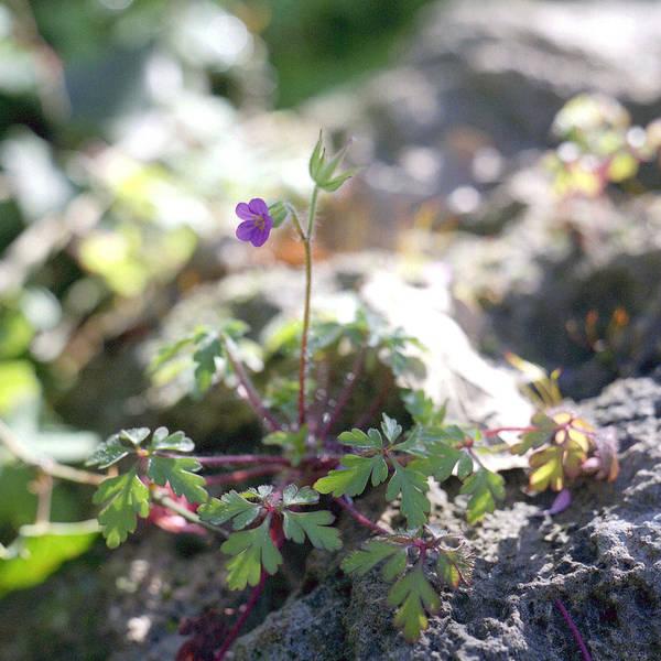 Photograph - Wild Geranium by Paul Cowan
