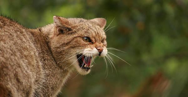 Wild Highland Cat Art Print