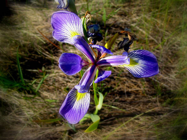 Mixed Media - Wild Iris by Bruce Ritchie
