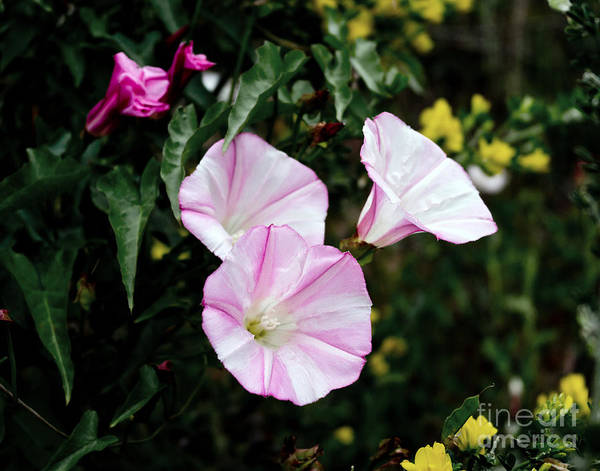 Morning Glory Photograph - Wild Morning Glories by Laura Iverson