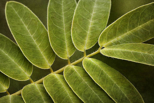 Wall Art - Photograph - Wild Partridge Pea Leaves by Dale Kincaid