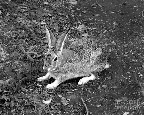 Photograph - Wild Rabbit Photograph by Kristen Fox