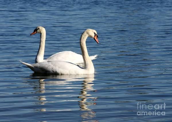 Photograph - Wild Swans by Sabrina L Ryan
