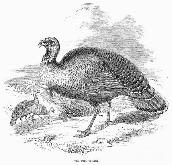 Photograph - Wild Turkey, 1853 by Granger