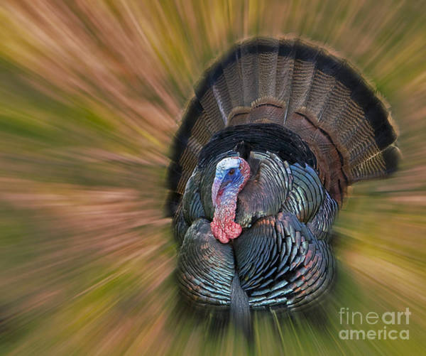 Photograph - Wild Turkey Display by Susan Candelario