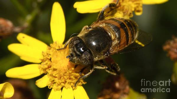 Photograph - Wild Unknown Bee by Mareko Marciniak