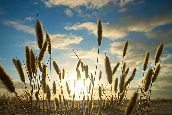 Expanse Photograph - Wild Wheat Growing On The Shores by Brooke Whatnall