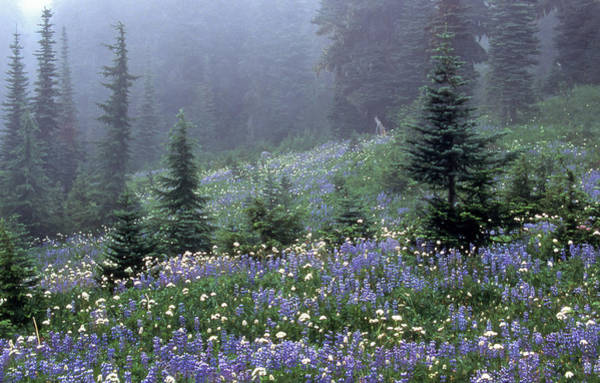 Photograph - Wildflower Meadow Mt Rainier by Tom and Pat Cory