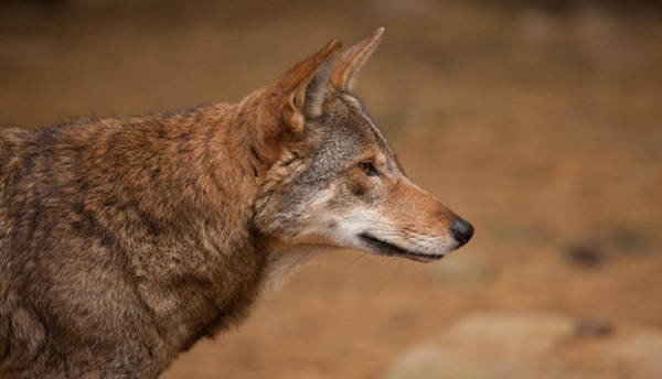 Red Wolf Photograph - Wile E Coyote by Karol Livote