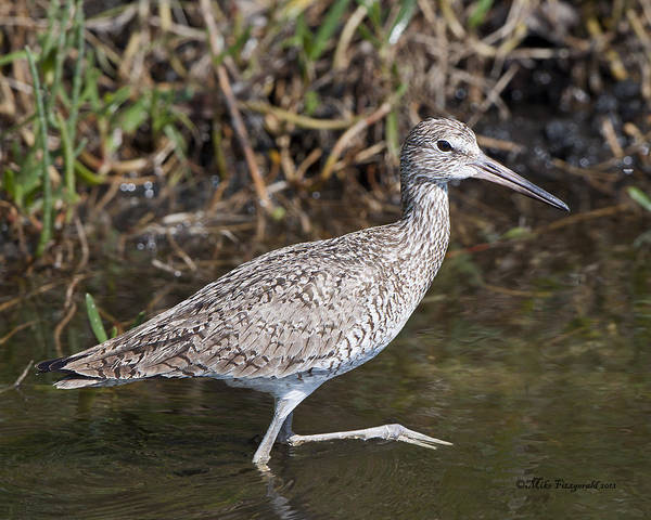 Photograph - Willet Strut by Mike Fitzgerald