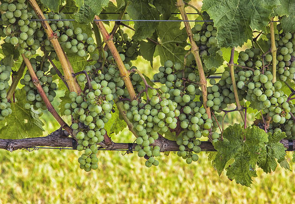 Photograph - Willow Creek Grapes by Tom Singleton